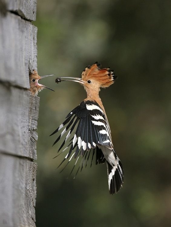 The hoopoe:  Israel's national bird.